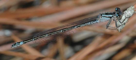 Sandhill Bluet - Enallagma davisi - female