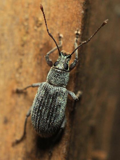 Snout Beetle - Cyrtepistomus castaneus
