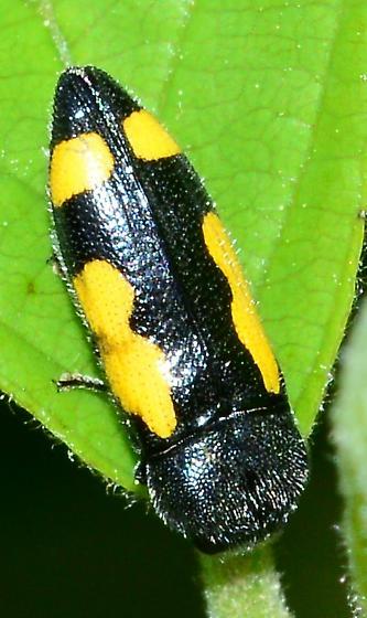 Yellow-spotted Beetle - Ptosima gibbicollis