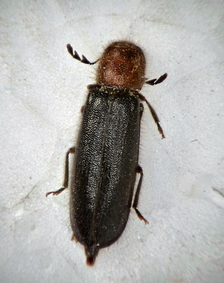 Checkered Beetle - Neorthopleura thoracica - female