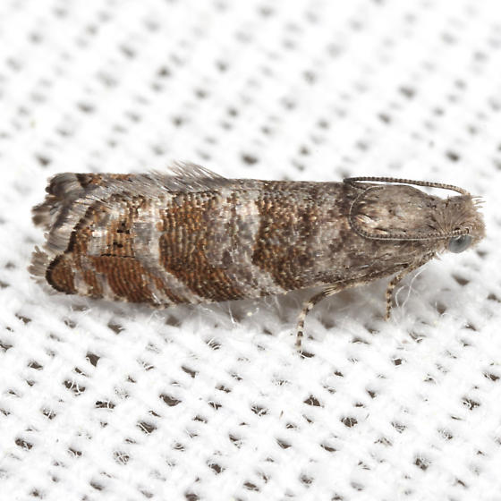Southern Pine Catkinworm Moth - Hodges #3415 - Cydia marita