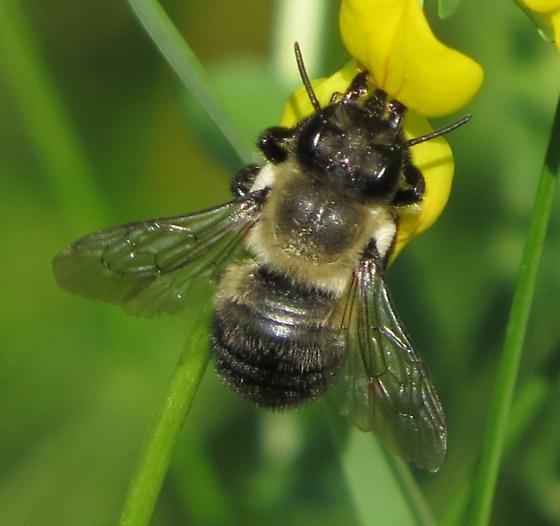Bombus or look-alike? - Megachile gemula - female