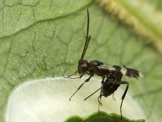 Wasp ovipositing in cocoon - Gelis tenellus - female