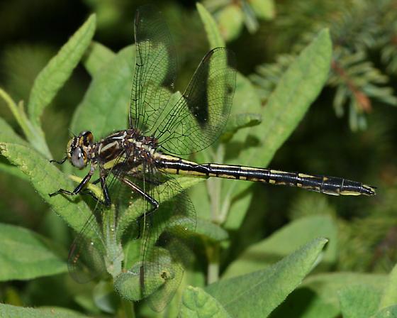 Harpoon Clubtail - Phanogomphus descriptus - female