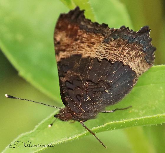 Brown & Orange Butterfly - Aglais milberti