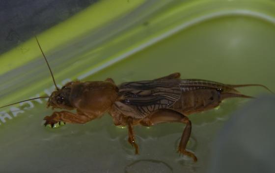 Giant Bug! - Neocurtilla hexadactyla