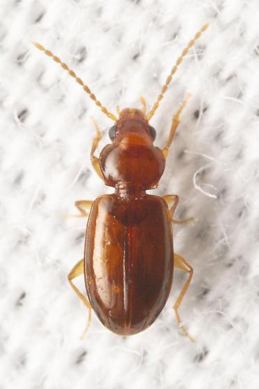 small brown carabid - Tachys