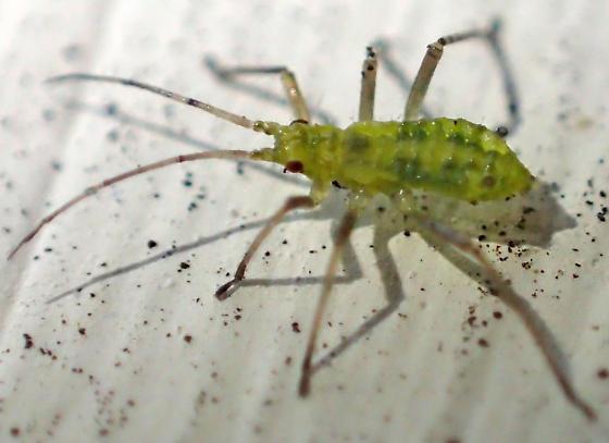 Green bug nymph?