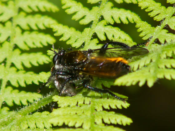 Gold-backed robber fly with prey - Laphria