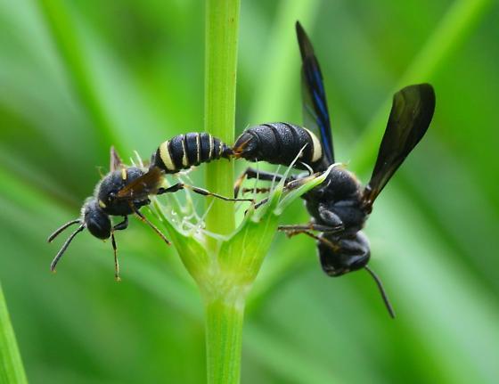 black and white wasps - Cerceris fumipennis - male - female
