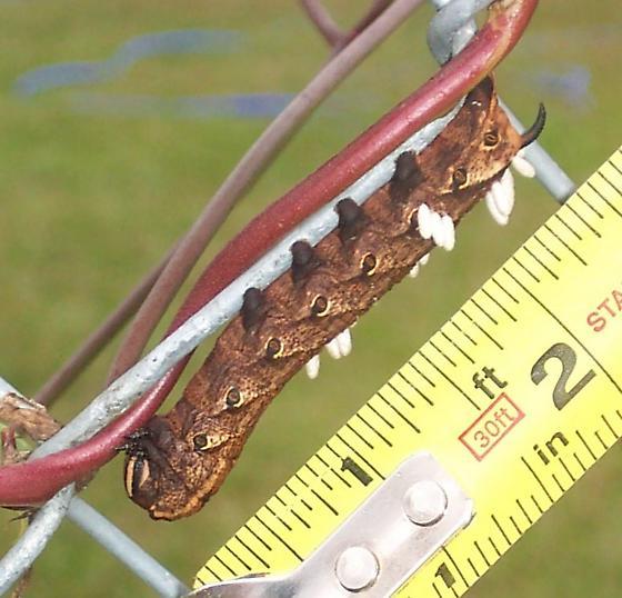 Hornworm with wasp parasites - Agrius cingulata - female