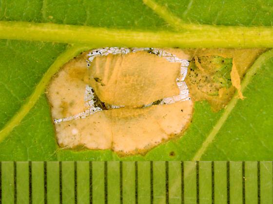 Gracillariidae on Oak, blotch mine - Phyllonorycter basistrigella