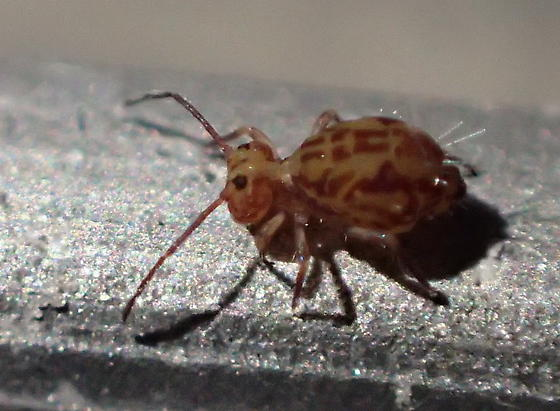 Globular springtail - Ptenothrix beta