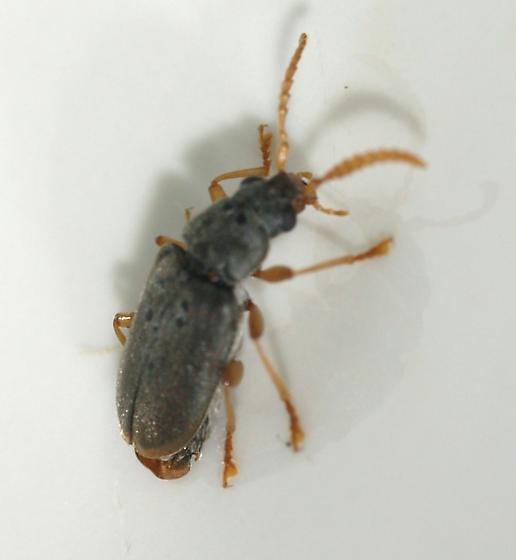 Yucca flower beetle - Mycterus quadricollis