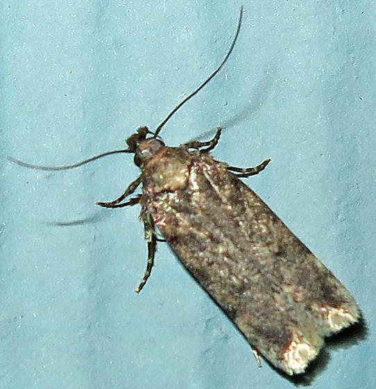 Lecithoceridae?