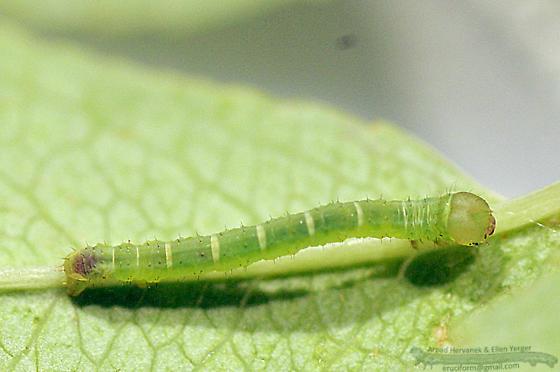 White Spring Moth, Early instar - Lomographa vestaliata