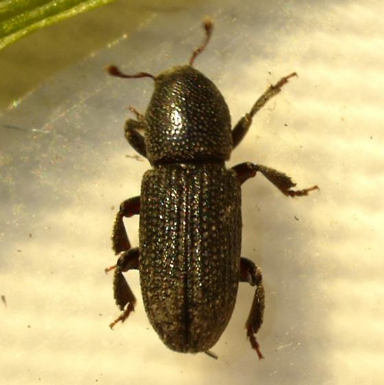 beetle - Hylastes porculus