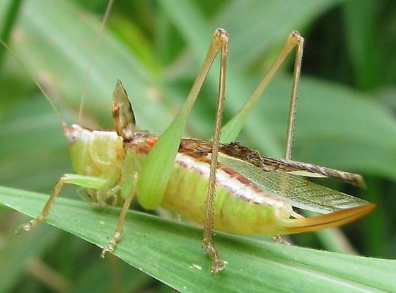Meadow Katydid with issues - Conocephalus fasciatus - female