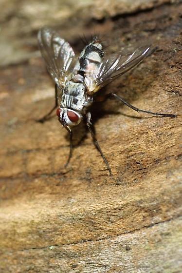 Fly - Zelia - female