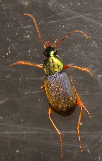 Chlaenius spp - Chlaenius tricolor