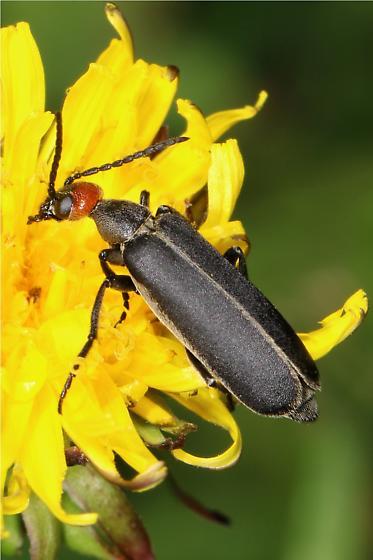 black Blister Beetle with red head - Epicauta atrata? - Epicauta