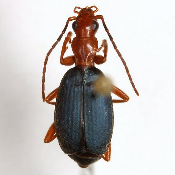 Brachinus alexiguus Erwin - Brachinus alexiguus