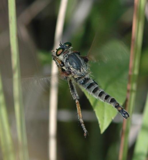 Robber Fly (2) - Promachus vertebratus - male