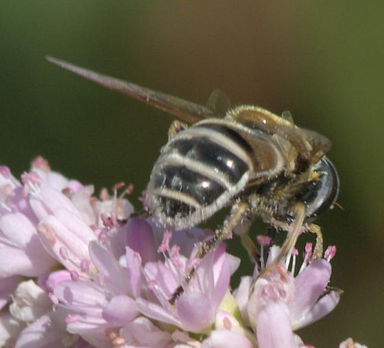 Syrphid Fly? - Eristalis stipator