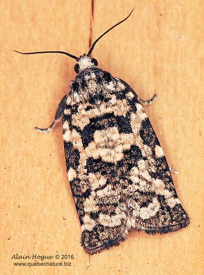 Moth - Archips packardiana