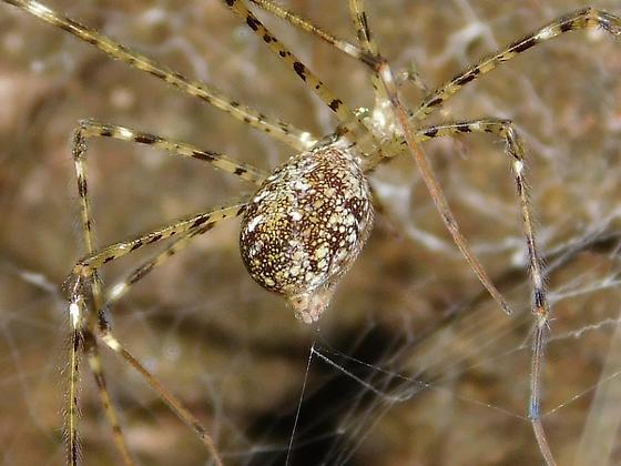 Hypochilus pococki  - Hypochilus pococki - female