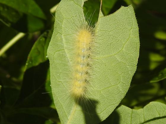 Caterpillar (Lepidoptera)  ?