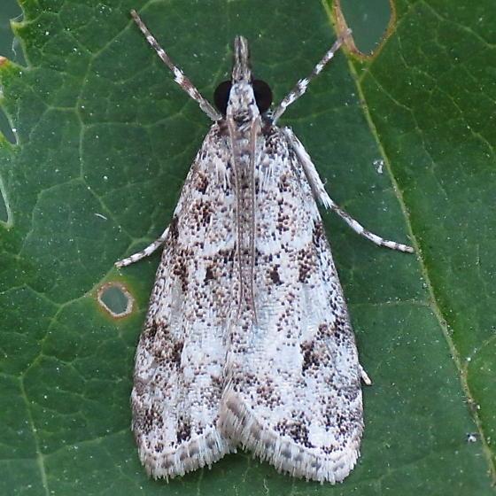 A Pyralid Moth - Eudonia heterosalis