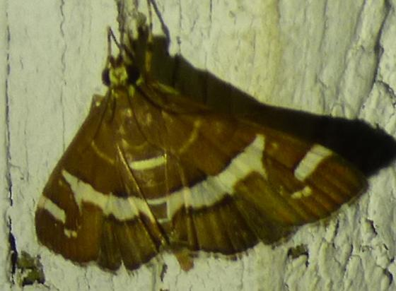 Spoladea recurvalis - Beet Webworm Moth - Spoladea recurvalis