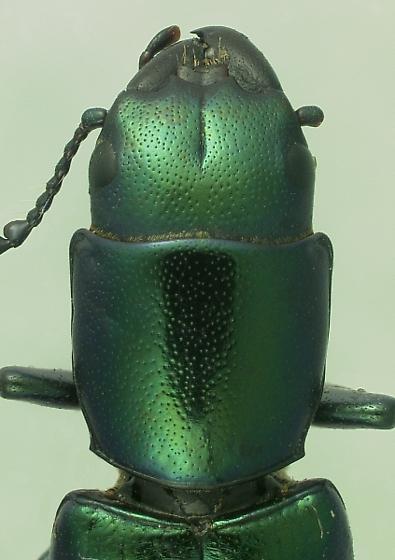 Temnoscheila virescens (Fabricius) - Temnoscheila virescens