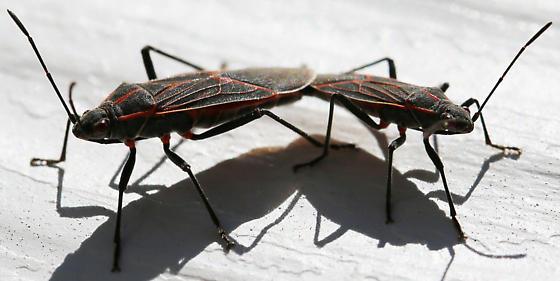 Boxelder Bugs Mating - Boisea rubrolineata - male - female