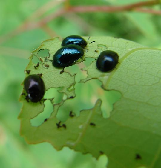 Small shiny blue green bugs on a tree leaf - Plagiodera