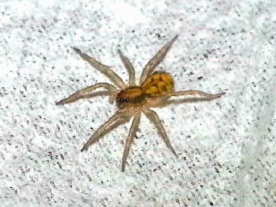 Tigrosa grandis Spiderling  - Tigrosa grandis