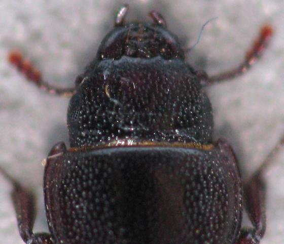 One from NM - Tenebroides occidentalis