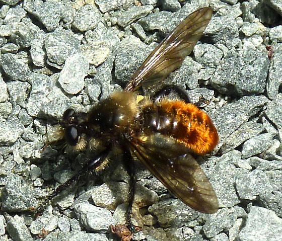 Orange wasp or fly - Laphria janus