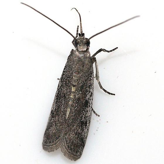 moth - Phycitodes reliquellum