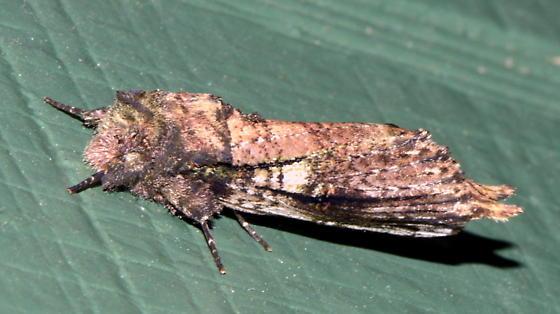 Please help us to identify this moth. - Schizura