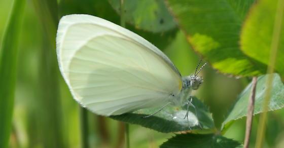 Mustard white? - Pieris oleracea