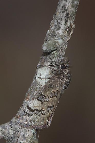 Sleepy Duskywing roosting behavior - Erynnis brizo - female