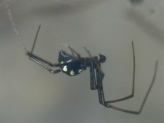 Latrodectus - male