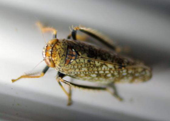 Leafhopper Oregon #4 - Orientus ishidae