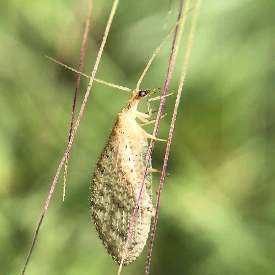 Brown Lacewing - Micromus