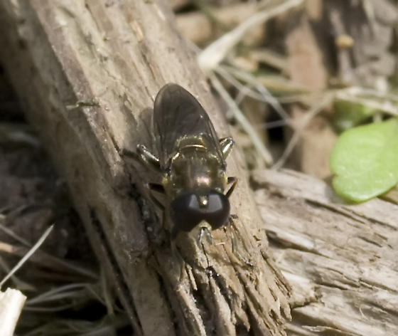 Fly - Eumerus