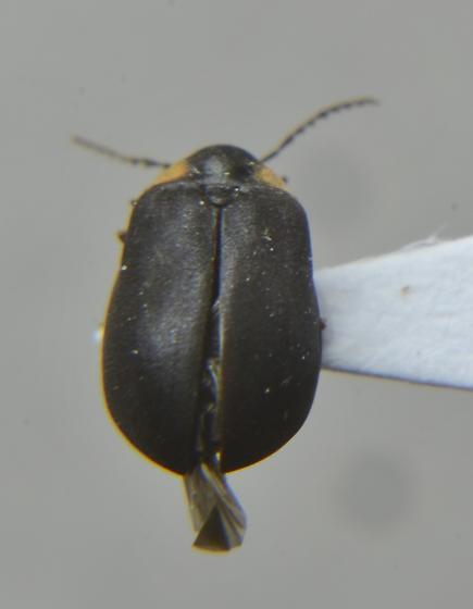 Black beetle with orange pronotum - Ectopria nervosa