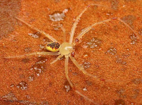 Spider for ID - Araneus alboventris - male