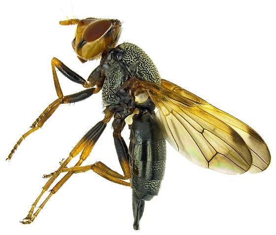 Female, Tetanops magdalanae? - Tetanops - female
